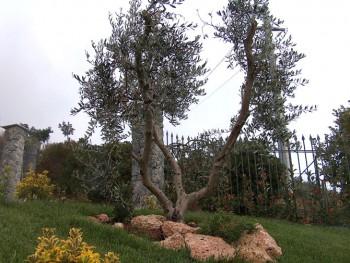 Dappino verde galleria giardini - Siepe di ulivo ...